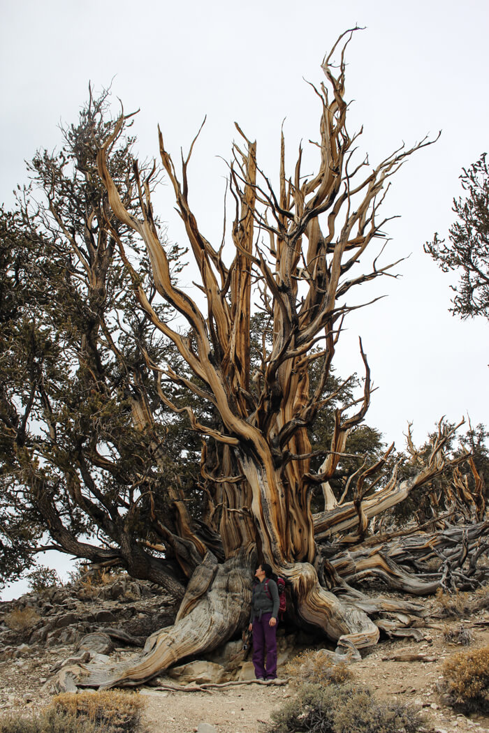 Ancient Bristlecone Pine Forest Discovery Trail Hike Report