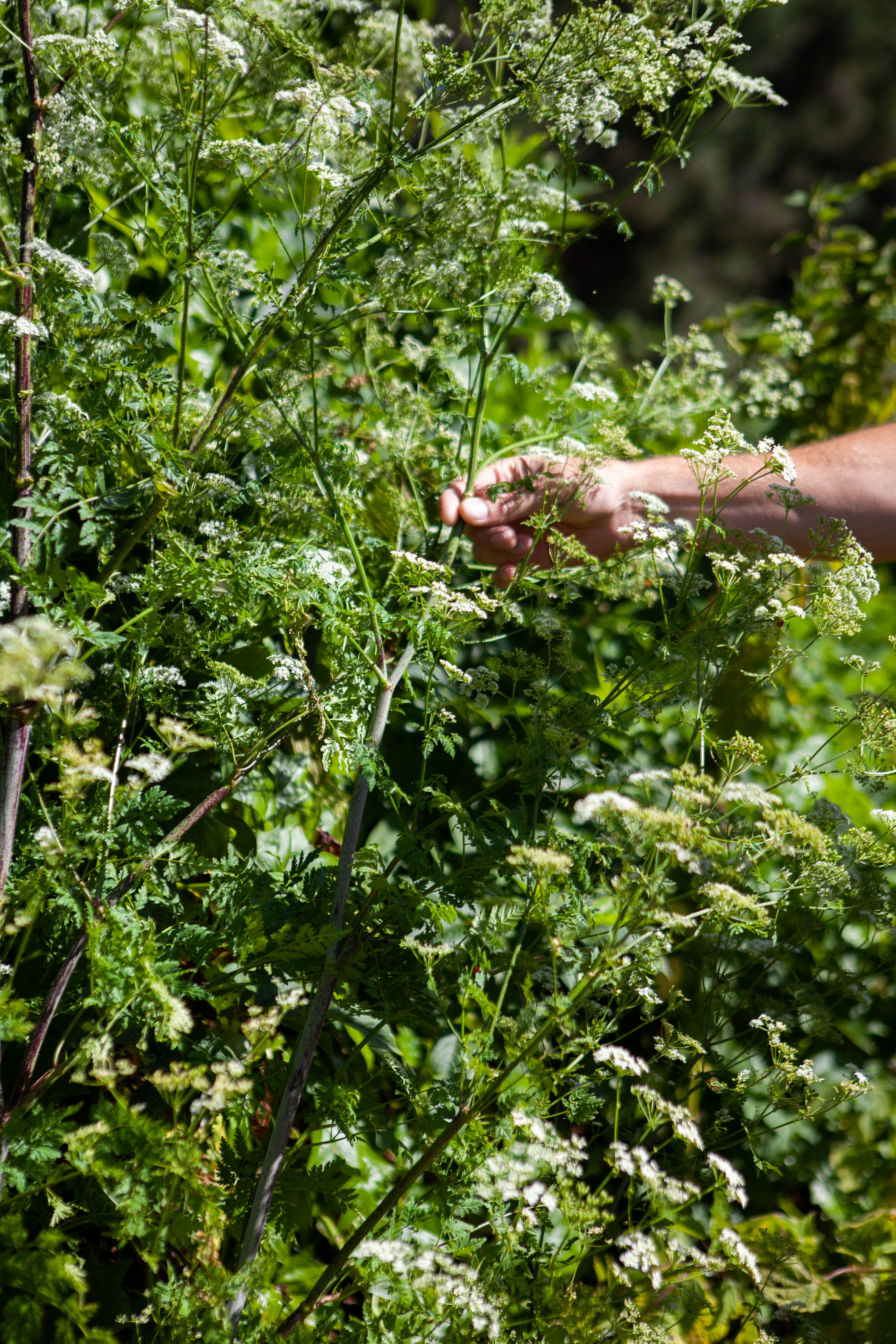 Poison Hemlock Ferment and Forage Experience Little River Inn Mendocino
