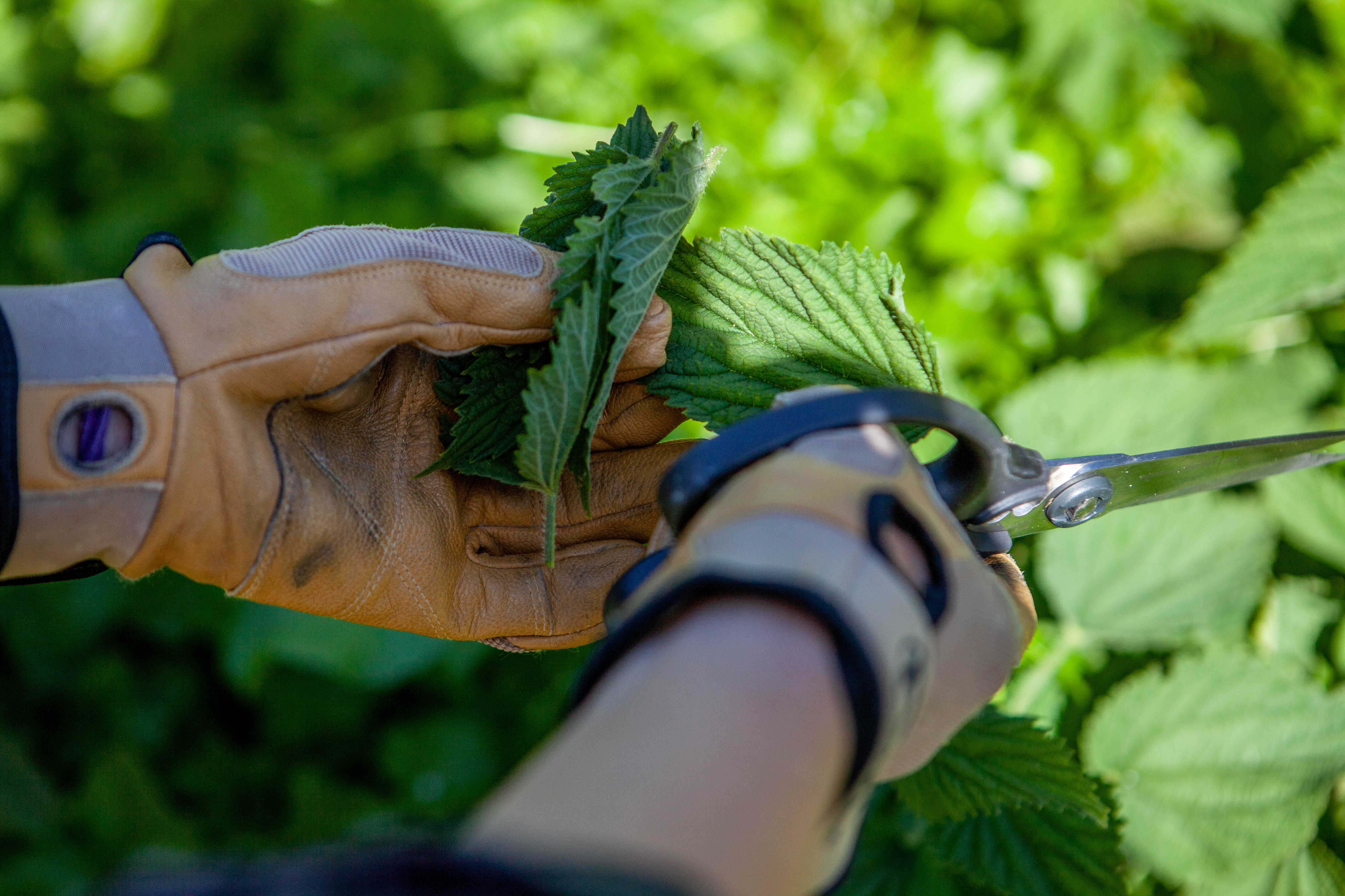 Stinging Nettles Ferment and Forage Experience Little River Inn Mendocino